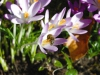 Honeybee on Crocus by Jeremy Carruthers