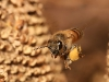 European honey bee carrying pollen back to hive.