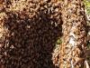 A bee swarm on a fallen tree