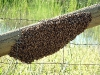 A swarm of Apis mellifera (European honey bees).
