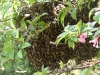 A swarm of bees taken by Denise Hall