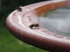 Bee drinking from birdbath by Jeremy Carruthers
